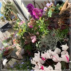 お花大好き/お花/ベランダ/ガーデニング/寄せ植え/冬のベランダ/... 明けましておめでとうございます㊗️🎉🎊 …(3枚目)