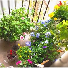 ベランダ/ランタナ七変化/ダイソーハンギング/ルリマツリ/ベランダガーデン/お花大好き❤/... 窓から見えるベランダガーデン❤️ ルリマ…