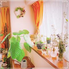 洋室/山で拾ったサンキライ/出窓インテリア/ベランダガーデンのお花/多肉植物の寄せ植え/挿し木でもらったウンベラータ/... 西陽でお部屋がほわっと暖かくて、気を抜い…