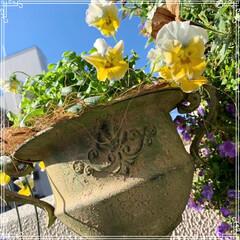 お花大好き/お花/ベランダ/ガーデニング/寄せ植え/冬のベランダ/... 明けましておめでとうございます㊗️🎉🎊 …(7枚目)