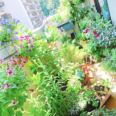 ガーデニンググッズ/ガーデニングインテリア/ベランダのお花/ベランダの草花/ベランダの花/ベランダ園芸/... 今日のベランダ   やっとペチュニアが盛…