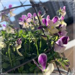 お花大好き/お花/ベランダ/ガーデニング/寄せ植え/冬のベランダ/... 明けましておめでとうございます㊗️🎉🎊 …(4枚目)