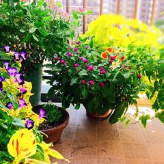 ダイソー/ベランダガーデン/ベランダ/秋の寄せ植え/お花大好き❤/ばんごはん/... 西側のベランダのセンニチコウ、たくさん咲…