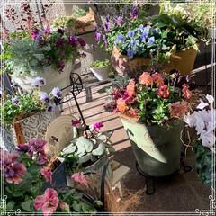お花大好き/お花/ベランダ/ガーデニング/寄せ植え/冬のベランダ/... 明けましておめでとうございます㊗️🎉🎊 …
