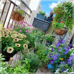 ベランダガーデニング/ベランダガーデン/ベランダ/植中毒❤️/植物のある暮らし/お花大好き/... お天気が良くて、ベランダのお花が嬉しそう…