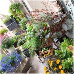 ヒューケラ/ガーデニング雑貨/ガーデニング/ベランダガーデン/ベランダのお花/お花/... ヒューケラお迎えしました😊✨✨ リーフも…