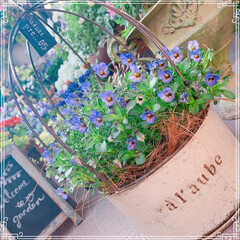 お花大好き/ガーデニング/ベランダガーデン/春の寄せ植え/雑貨/100均/... 夕陽がキラキラ✨✨ マイガーデンは癒しの…