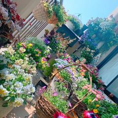 ベランダの花/花/私の花/ガーデニング雑貨/ガーデニング/ベランダガーデン/... 本日のベランダガーデン カフェの入り口み…