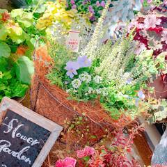ベランダガーデニング/花のあるくらし/花のある生活/花のある暮らし/花/お花大好き/... 夏のお花がまだまだ元気だというのに、お花…