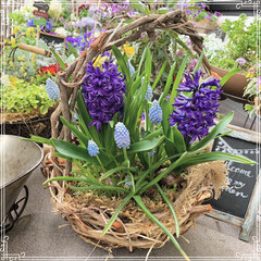 球根植物/春の寄せ植え/ガーデニング/ベランダ/寄せ植え/お花大好き/... ヒヤシンスとムスカリが満開❤️