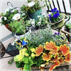 ベランダ/お花大好き❤/寄せ植え/ビオラ/ベランダガーデン/ベランダガーデニング/... 今日は曇っててお花のお世話も出来ないので…