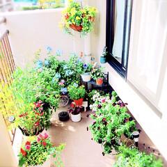 秋の寄せ植え/ベランダ/ルリマツリ/お花大好き❤/ベランダガーデン/100均/... 今朝のベランダガーデン❤️