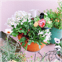 ベランダガーデニング/ベランダガーデン/ビオラ/寄せ植え/ベランダ/お花大好き❤/... プリムラマラコイデスとアネモネポルト❤️