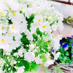 寄せ植え/ビオラ/プリムラマラコイデス/お花大好き❤/ベランダガーデン/ベランダガーデニング/... プリムラマラコイデスがブーケみたいに綺麗…(2枚目)