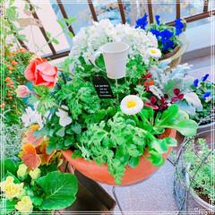 寄せ植え/ビオラ/プリムラマラコイデス/お花大好き❤/ベランダガーデン/ベランダガーデニング/... プリムラマラコイデスがブーケみたいに綺麗…