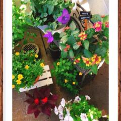 ランタナ七変化/季節の寄せ植え/ベランダガーデン/お花大好き❤/インテリア/雑貨/... ランタナが満開です✨ 昨日は久しぶりに晴…