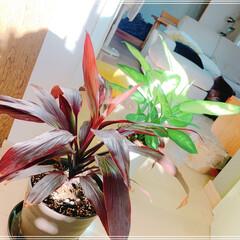 LIMIAファンクラブ/LIMIAインテリア部/雑貨/暮らし/住まい 観葉植物も好きです✨  家がジャングル化…(1枚目)