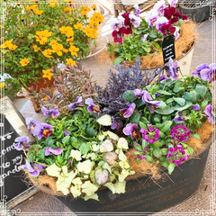 冬の寄せ植え/寄せ植え/お花大好き❤/ビオラ/ベランダガーデニング/ベランダガーデン/... 昨日寄せ植えしたビオラをベランダに配置❤…