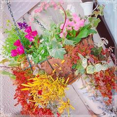ガーデニング雑貨/多肉寄せ植え/ガーデニング/ベランダガーデン/お花大好き❤/フォロー大歓迎/... 今日のお花シリーズ🌸