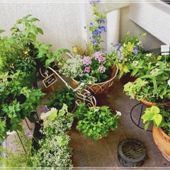 プルンバーゴオーリキュラータ/ペンタス/お花大好き💕/ガーデニング/ベランダ/雑貨/... 昨日の寄せ植えを設置完了💕