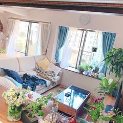 グリーンのある暮らし/ベランダの花/観葉植物のある暮らし/観葉植物/インテリアグリーン/リビングインテリア/... リビングにはグリーンやお花を✨   ベラ…