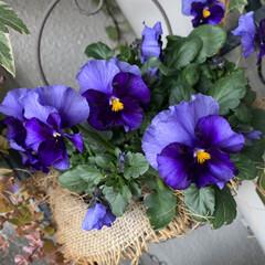 お花大好き/ベランダ/ベランダガーデン/ベランダガーデニング/クリスマスローズ/ビオラ/... 本日のお花とお部屋のグリーン  今日は寒…