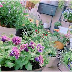 お花/ベランダガーデン/ベランダガーデニング/ガーデニング雑貨/お花大好き/湘南ヴェルデ/... 八重咲きペチュニア 湘南ヴェルデお迎えし…
