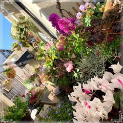 お花大好き/お花/ベランダ/ガーデニング/寄せ植え/冬のベランダ/... 明けましておめでとうございます㊗️🎉🎊 …(10枚目)