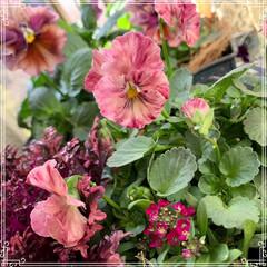 お花大好き/お花/ベランダ/ガーデニング/寄せ植え/冬のベランダ/... 明けましておめでとうございます㊗️🎉🎊 …(5枚目)