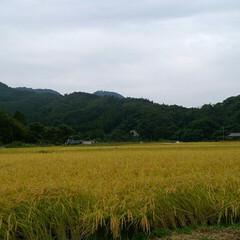 住まい これから雨が続くらしいので急遽、稲刈りに…