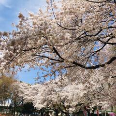 サクラ/満開/春のフォト投稿キャンペーン 遅ればせながら、桜のUPです🌸 都内より…