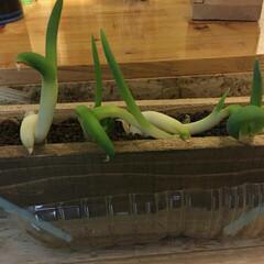節約生活/自家菜園 白ネギの根っこ植えてみたら何とも可愛らし…