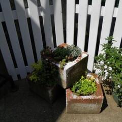 庭/ガーデニング/ミニフェンス/セダム/スクエアポット/ディスプレイ セダムの寄せ植えの背景にミニフェンスを置…