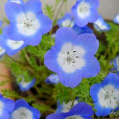 花びら/ガーデニング/青い花/春 今日の花♪  私の好きな花です。、