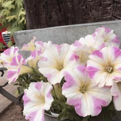花かんざしドライ/花かんざし/ペチュニア/フォロー大歓迎