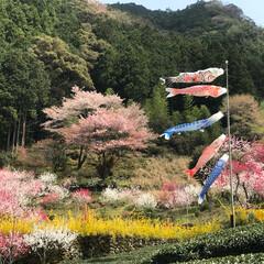 春/花桃 仁淀川の花桃を見に行ってきました。 鯉の…