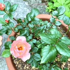 小さな幸せ/可愛い/咲きました/ガーデニング/ミニバラ 今年に入ってすぐに、 小さなミニバラの苗…(2枚目)