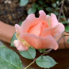 小さな幸せ/可愛い/咲きました/ガーデニング/ミニバラ 今年に入ってすぐに、 小さなミニバラの苗…(1枚目)
