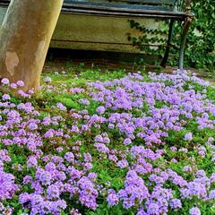 ステイホーム/おうち時間/ガーデニング/母の日 実家の母から、「毎年お花ありがとねー」っ…(2枚目)