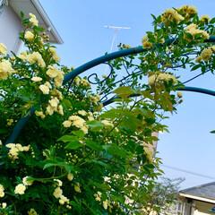お庭/休日/モッコウバラ/ガーデニング/ステイホーム/おうち時間 今日の暖かさで、モッコウバラが随分咲きま…
