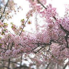 桜まつり/サクラ満開/動物園/春のフォト投稿キャンペーン/LIMIAおでかけ部/おでかけ/... 春休み最終日。。。 高速を使わず行ったの…
