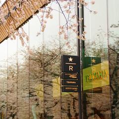 スターバックス/桜/目黒川/風景 中目黒に新しくできたスターバックスの窓ガ…