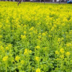 春近い/菜の花 地元でわりと有名な菜の花畑の花たちが咲き…