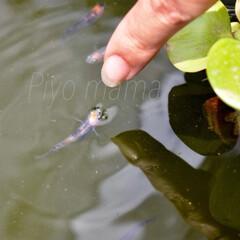 メダカと遊ぶ/メダカ/涼を求めて 暑い暑い夏も、涼し気に水の中を自由に泳ぐ…