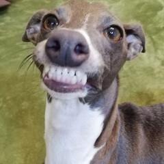 ペット/イタリアングレーハウンド/犬のいる暮らし/いぬ/犬と暮らす/暮らし/... ふと見たらお隣でこの顔😂❤   スマホを…