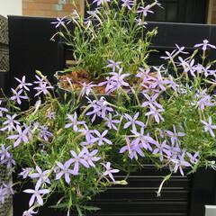 ガーデニング#ハンギングバスケット.../玄関 一番大好きな花💐 イソトマのハンギング夏…