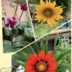 毎朝の水やり/お花/ガーデニング/暮らし 向日葵🌻と ガザニアです  なぜか シク…