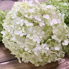 お花のある暮らし/お花大好き/アナベルドライ/アナベルリース/ドライフラワーのある暮らし/ハンドメイド/... 雨ですね〜☔️ なのですがアナベルを半分…(2枚目)
