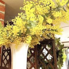 ミモザ/お花が安い/道の駅 昨日は道の駅巡りをしました お花が安いの…