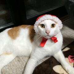 ガチャガチャ/ネコ/クリスマス ガチャガチャの ネコ用被り物